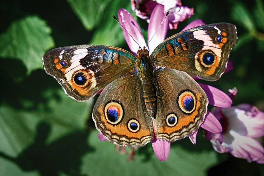 A California native, the Buckeye butterfly is amongst the pollinators found at the Natural History Museum's native garden. Photo: NHMLA