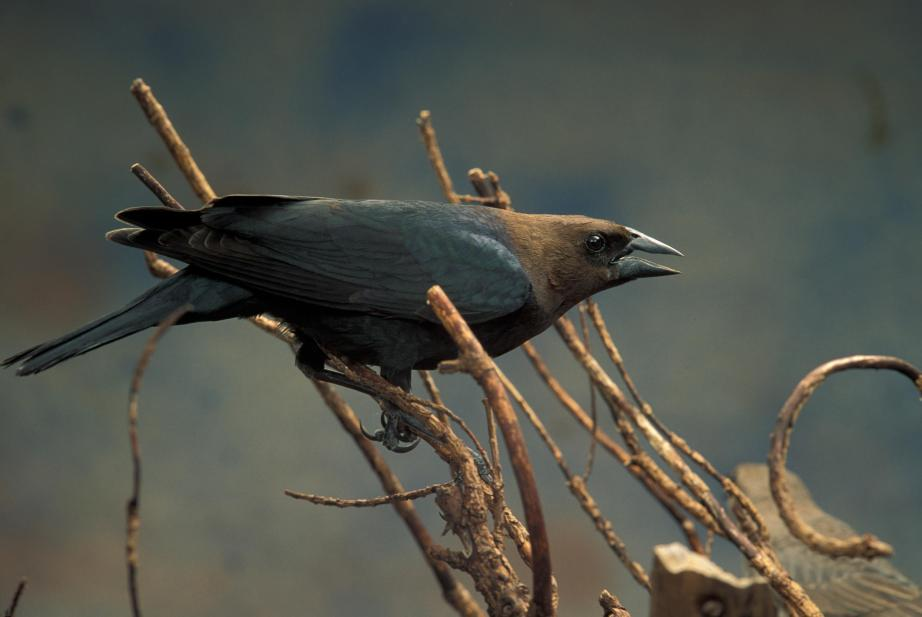 "According to the Audubon Field Guide the Brown-headed Cowbird  is ""known to have laid eggs in nests of over 220 species of birds, and over 140 of those are known to have raised young cowbirds."""