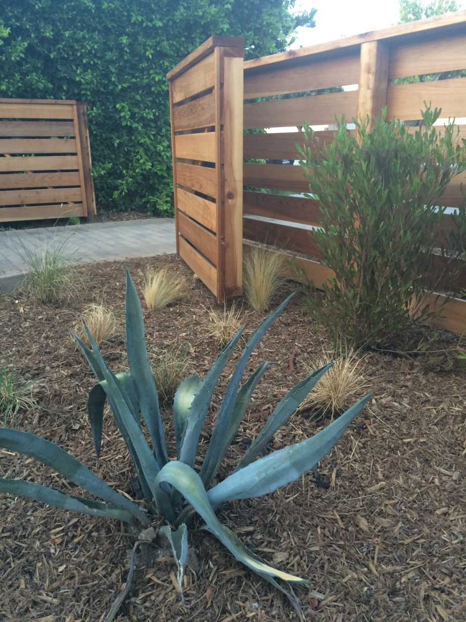 AFTER - Agave, Mulch, Dodonea, drip irrigation