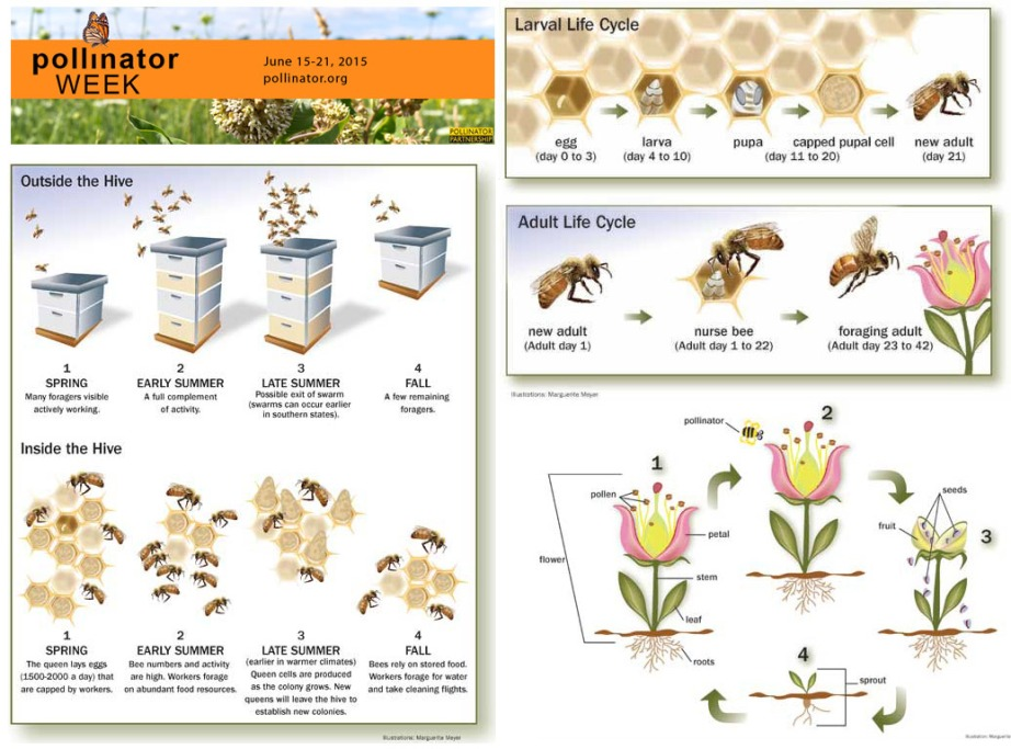 Infographics: Pollinator Partnership.