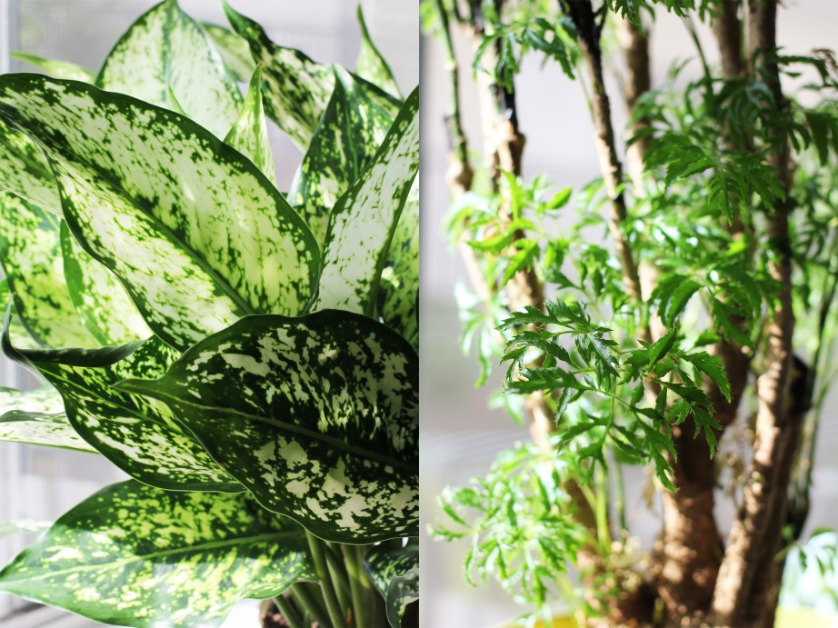Aglaonema (left) and Polyscias (right)