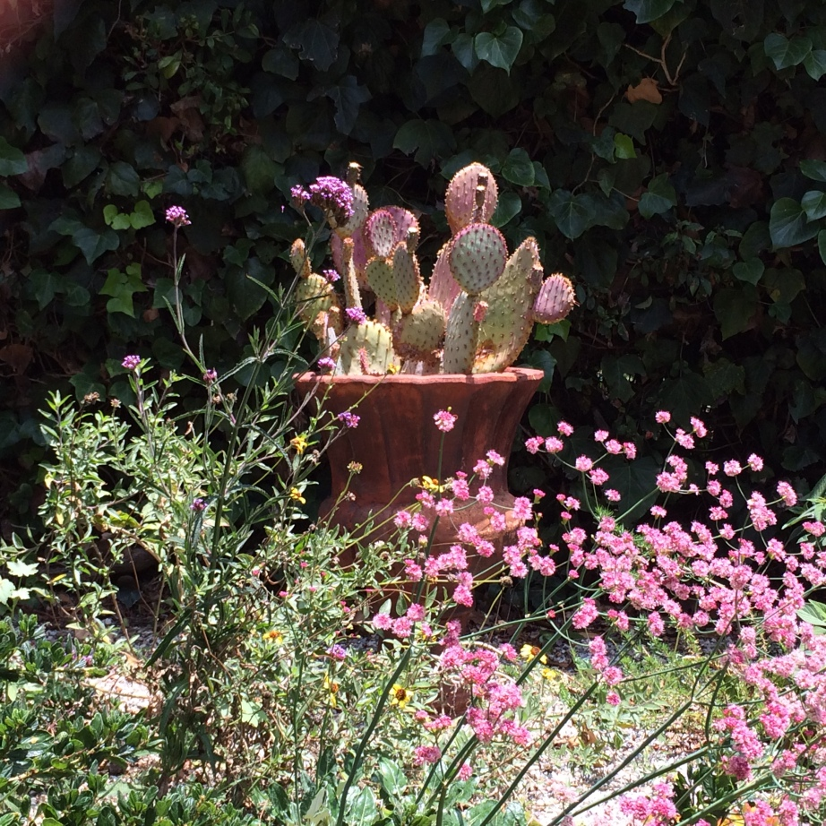 Garden Feature_Opuntia in Pot_PP-Daley