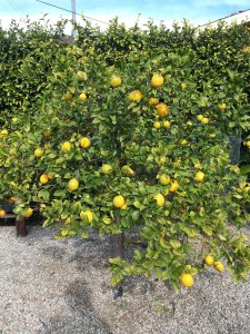 Meyer-lemon-trees-closeup
