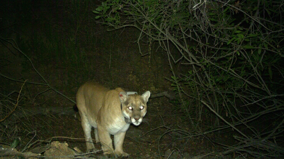P-22 on Trail Cam, December 2015  P-22 seen on a trail camera around a week before he was recaptured by biologists in mid-December. Creative Commons photo:  National Park Service/