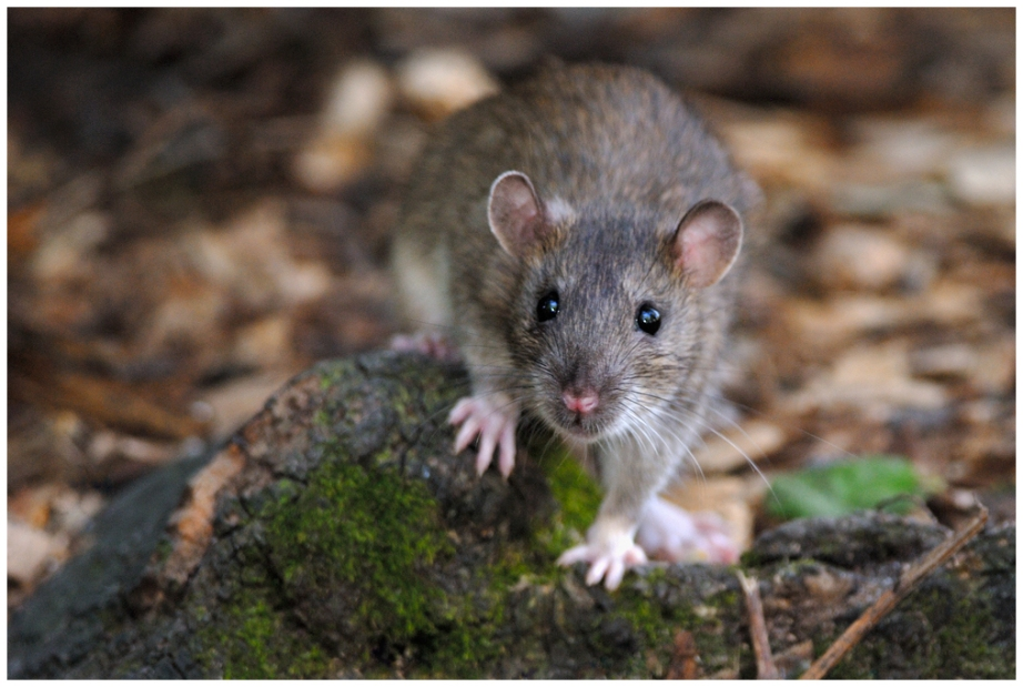 Brown Rat, Creative Commons photo by Jean-Jacques Boujot