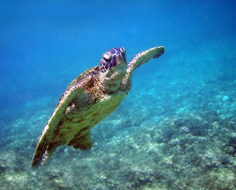 Pacific Green Turtles have been sighted as far north as the southern coast of Alaska and as far south as Chile, with populations swimming as far as Japan and southern parts of Russia's Pacific coast.