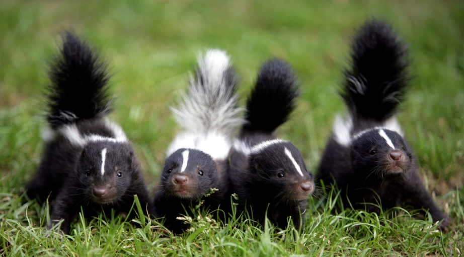 Skunk In Backyard skunks: the hell's grannies of silver lake | ahbe lab