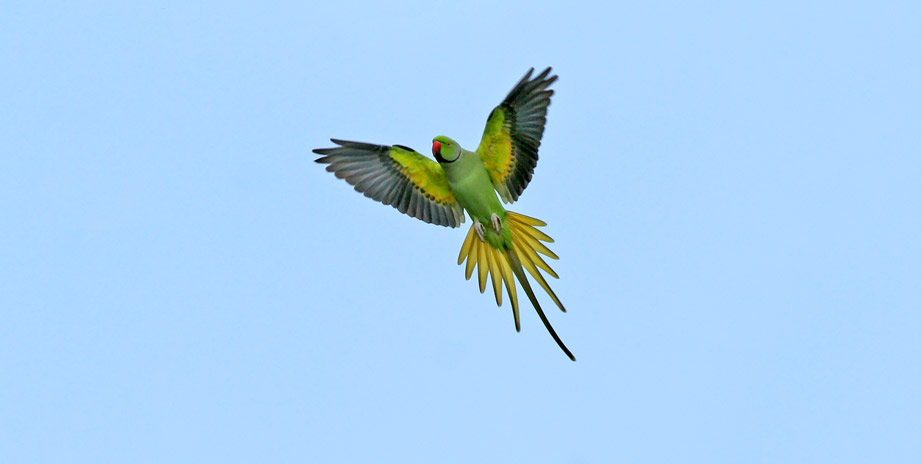 The Rose-ringed Parakeet in flight, one of the six species of Amazona found in California, as shown over at The California Parrot Project.