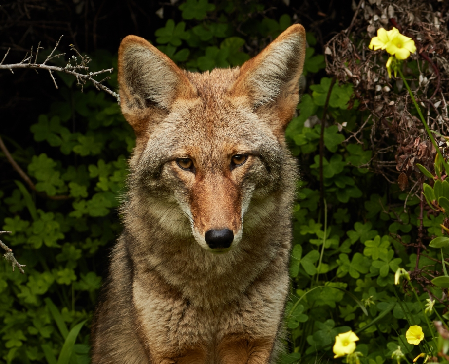 An urban coyote spied in Bernal Heights, California. Creative Commons photo.