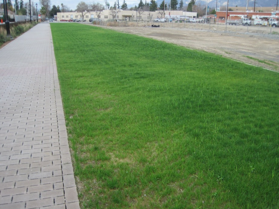 Buffalo Grass at Monrovia project