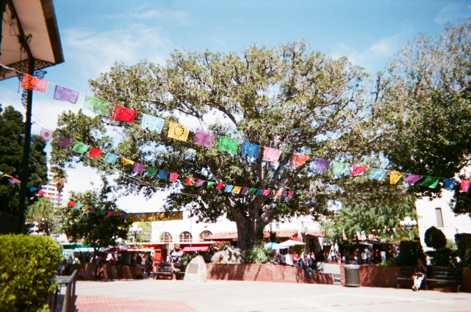 Ficus tree at plaza - 1
