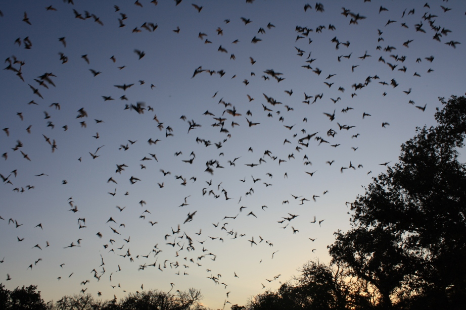 Mexican free-tailed bats exiting Bracken Bat Cave. Creative Commons photos by the U.S. Fish and Wildlife Service.