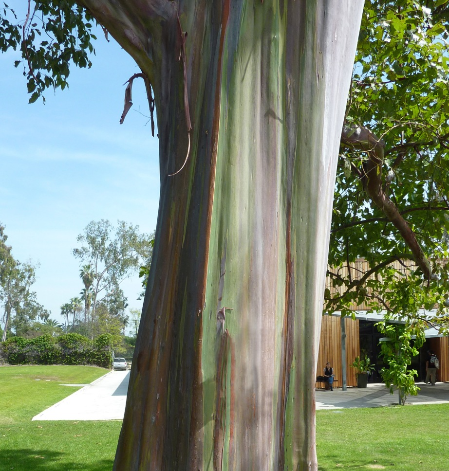 Eucalyptus deglupta's bark compliments the exotic plumage of freeing roaming peafowl. All Photos by Christina Lynch.