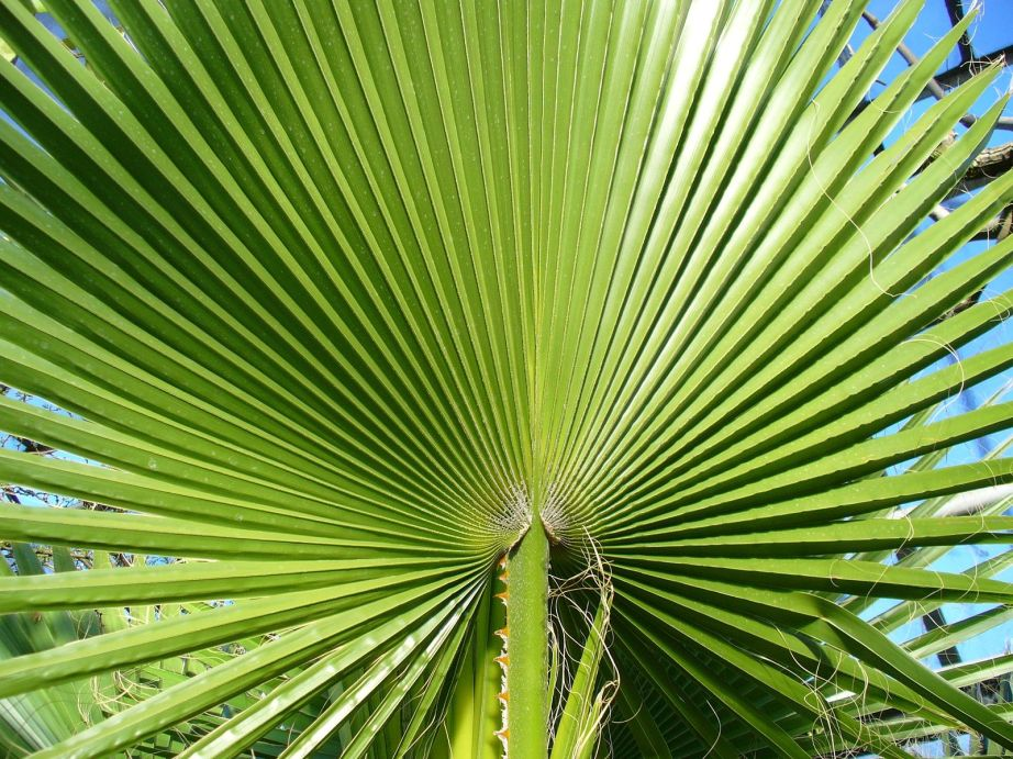 The frond of Washingtonia filifera. Creative Commons photo by Atirador.