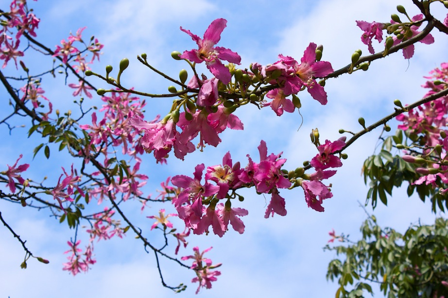 Creative Commons Photo: (Floss Silk Tree) 美人樹 | by Hildegard_Chen