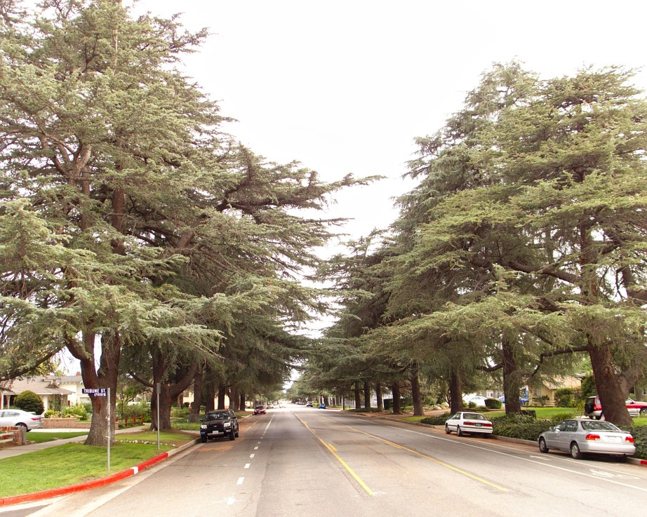Some of the 114 Cedrus deodara trees along White Oak Avenue, planted in 1932 between San Fernando Mission Blvd. and San Jose St. in Granada Hills. View is to the south from Tribune St. The trees are Los Angeles Historic-Cultural Monument No. 41. Creative Commons photo: Junkyardsparkle