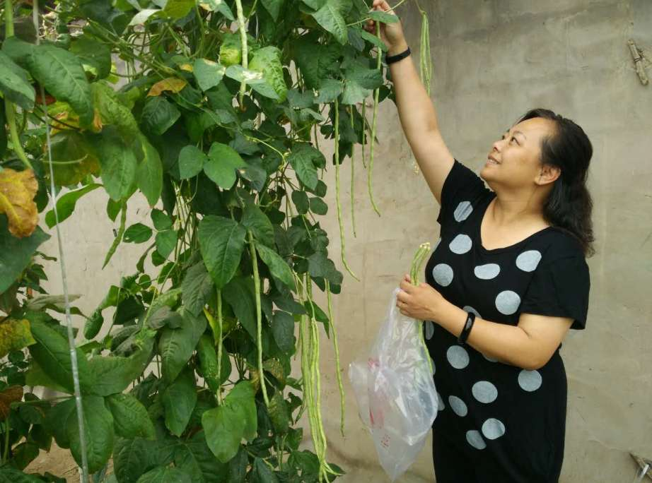 my-mom-picking-cowpea